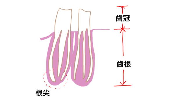 チンチラの歯冠部と根尖部