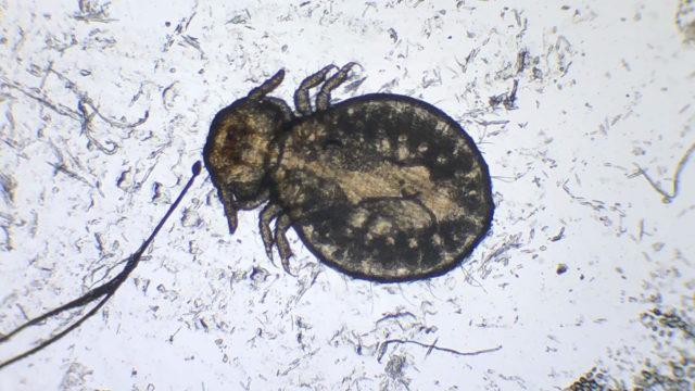 顕微鏡で見たイヌハジラミの成虫