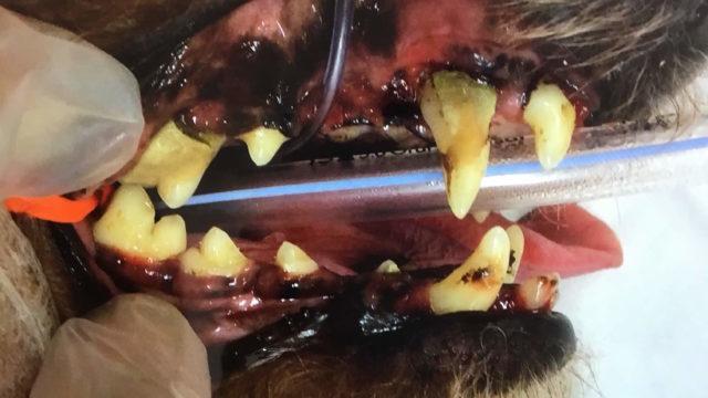 歯石が沈着した犬の歯
