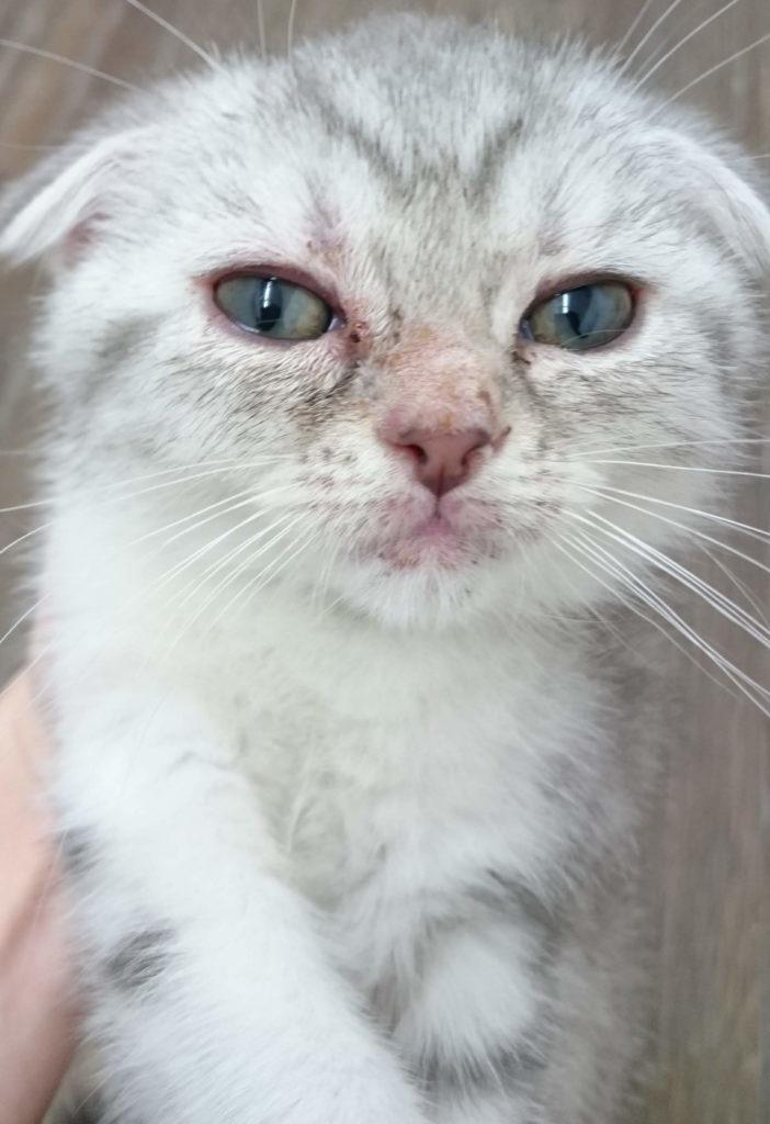 皮膚糸状菌症の猫