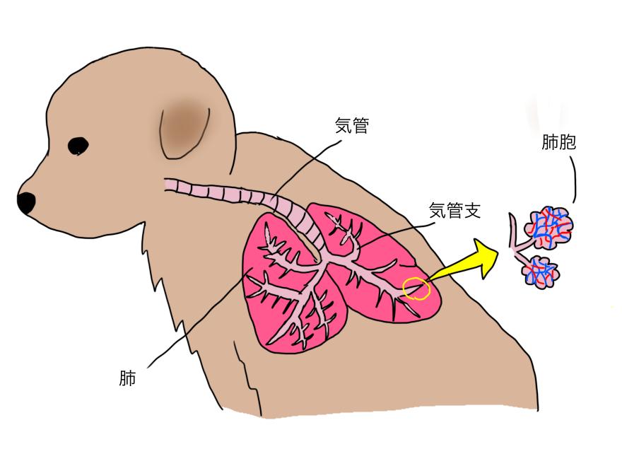 犬の気管、気管支、肺胞