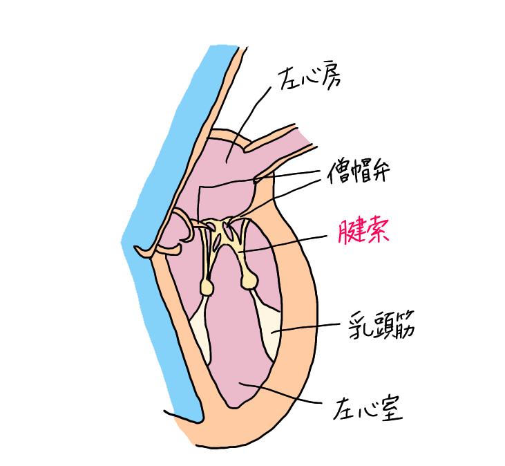 正常な腱索